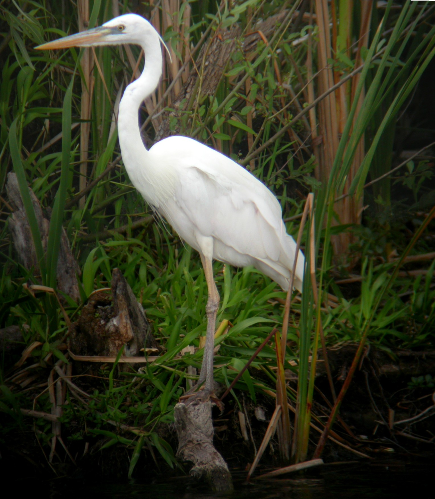 White crane bird - photo#6